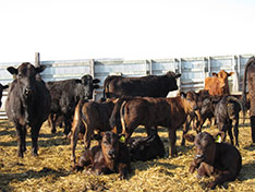 Litchke Farms' Cattle Herd